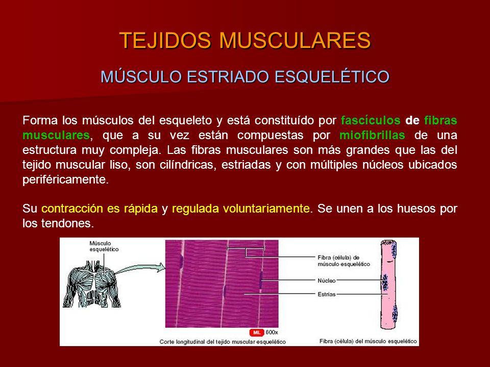 TEJIDOS MUSCULARES MÚSCULO ESTRIADO ESQUELÉTICO Forma los músculos del esqueleto y está constituído por fascículos de fibras musculares, que a su vez están compuestas por miofibrillas de una estructura muy compleja.