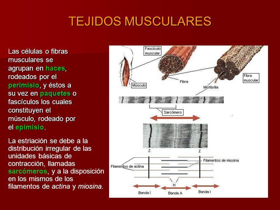 TEJIDOS MUSCULARES La estriación se debe a la distribución irregular de las unidades básicas de contracción, llamadas sarcómeros, y a la disposición en los mismos de los filamentos de actina y miosina.