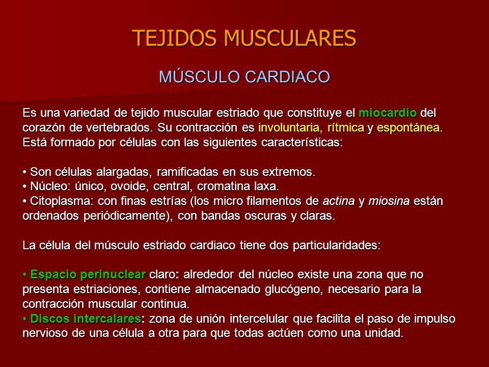 TEJIDOS MUSCULARES Es una variedad de tejido muscular estriado que constituye el miocardio del corazón de vertebrados.