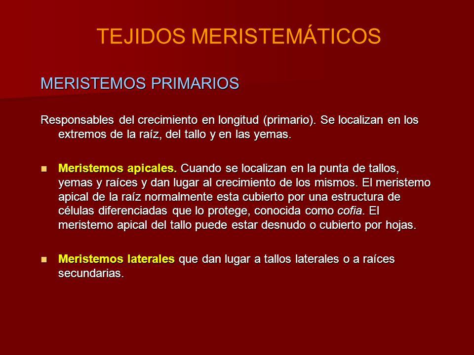 MERISTEMOS PRIMARIOS Responsables del crecimiento en longitud (primario).