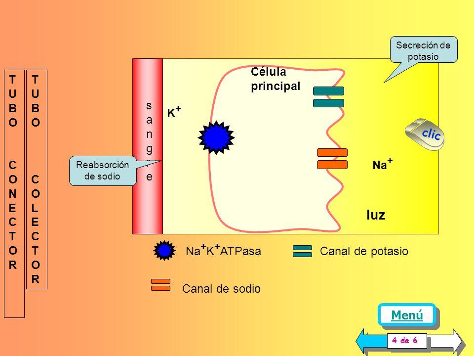 En el segmento distal terminal e inicio del colector, se encuentran dos tipos de células: las principales y las intercaladas. Las células principales