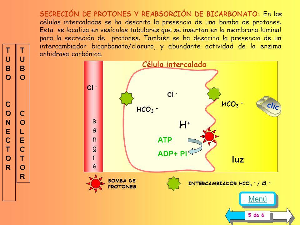 Célula principal luz sangresangre Na + K+K+ Secreción de potasio Reabsorción de sodio Na + K + ATPasa Canal de sodio Canal de potasio TUBOCONECTOR TUB