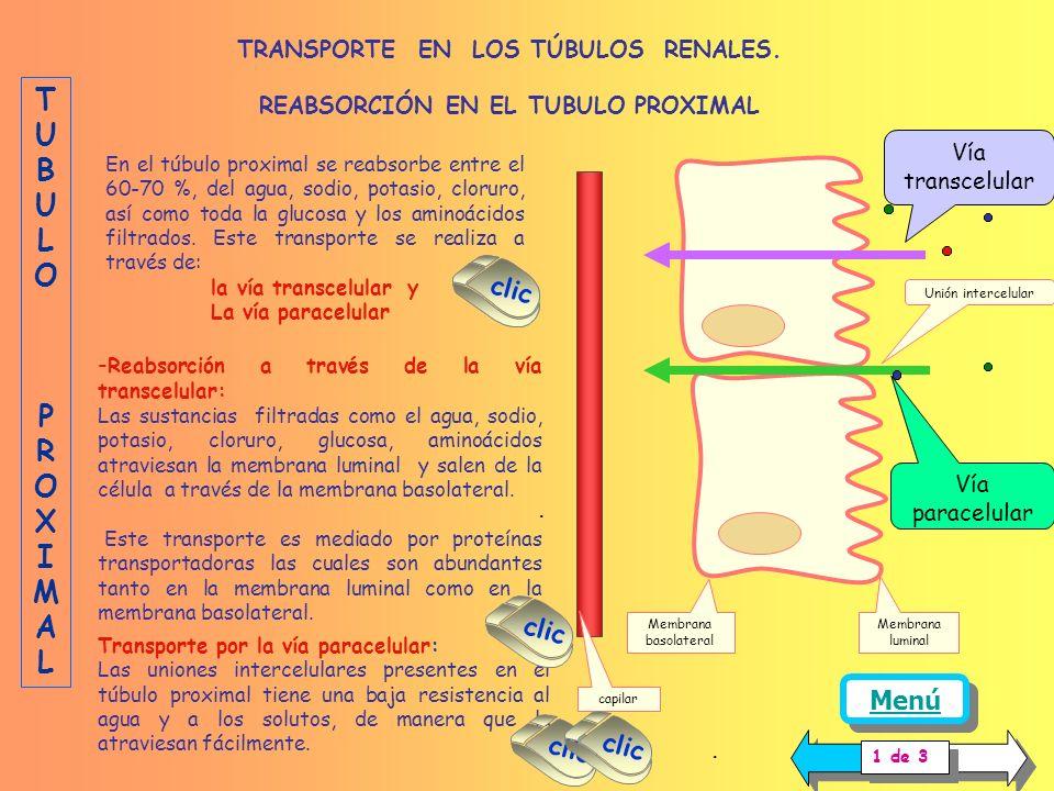 Transporte por la vía paracelular: Las uniones intercelulares presentes en el túbulo proximal tiene una baja resistencia al agua y a los solutos, de manera que la atraviesan fácilmente.