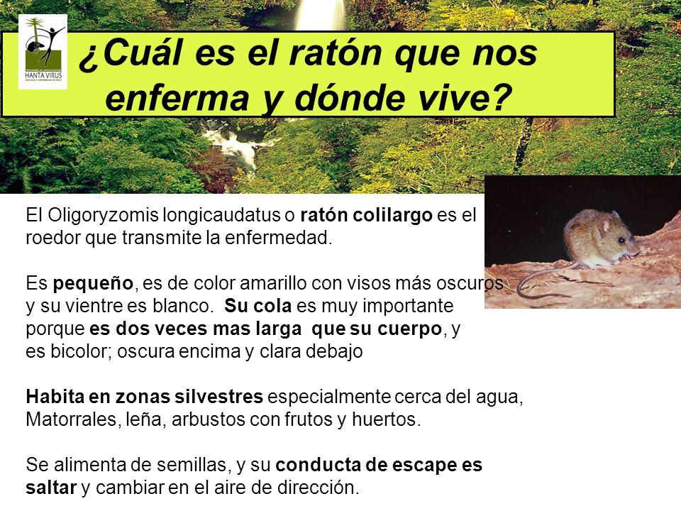 ¿Cuál es el ratón que nos enferma y dónde vive? El Oligoryzomis longicaudatus o ratón colilargo es el roedor que transmite la enfermedad. Es pequeño,