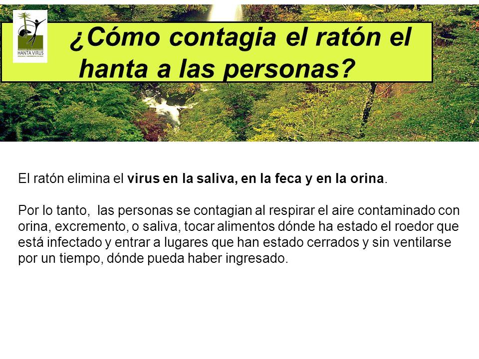 ¿Cómo contagia el ratón el hanta a las personas? El ratón elimina el virus en la saliva, en la feca y en la orina. Por lo tanto, las personas se conta