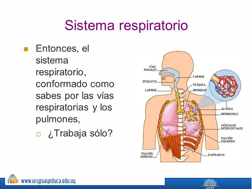 Sistema respiratorio Entonces, el sistema respiratorio, conformado como sabes por las vías respiratorias y los pulmones, ¿Trabaja sólo?