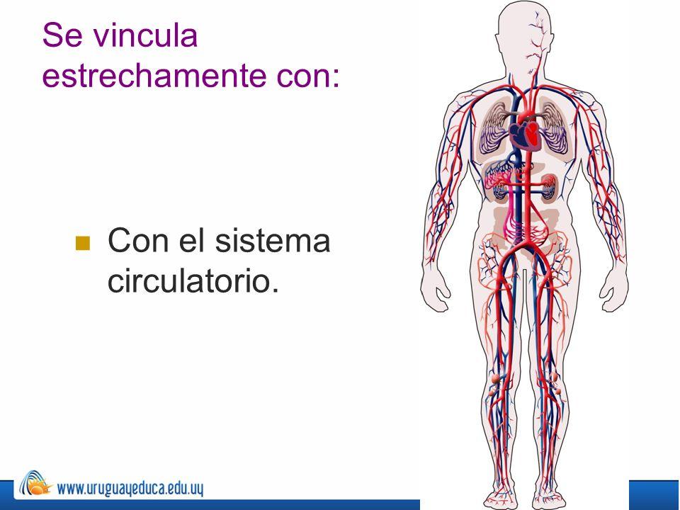 Se vincula estrechamente con: Con el sistema circulatorio.