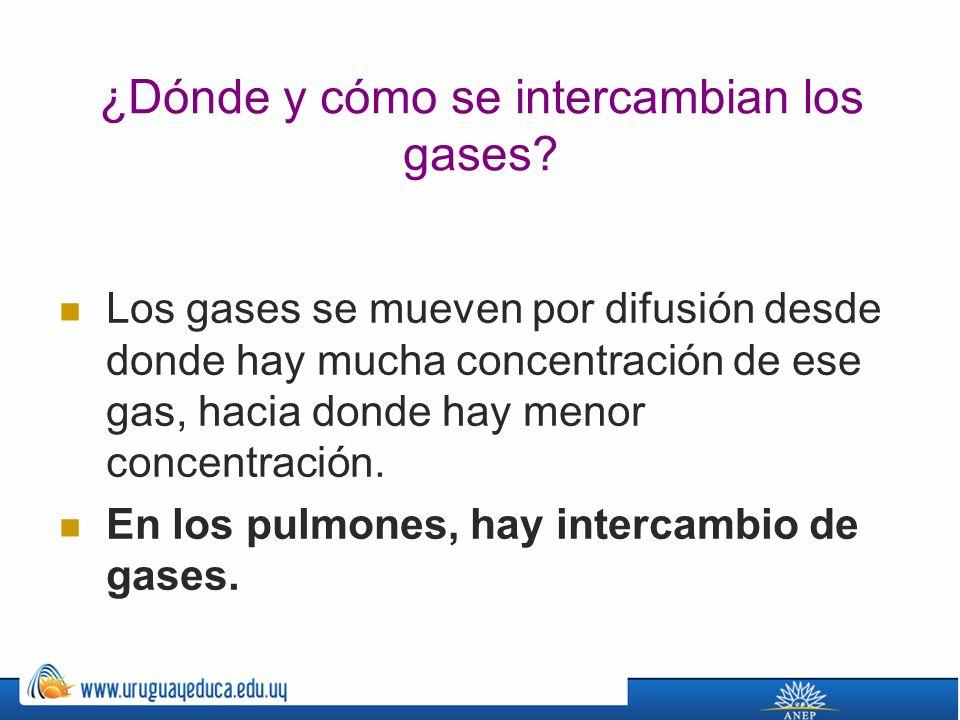 ¿Dónde y cómo se intercambian los gases.