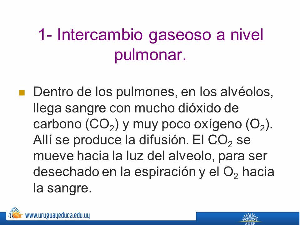 1- Intercambio gaseoso a nivel pulmonar.