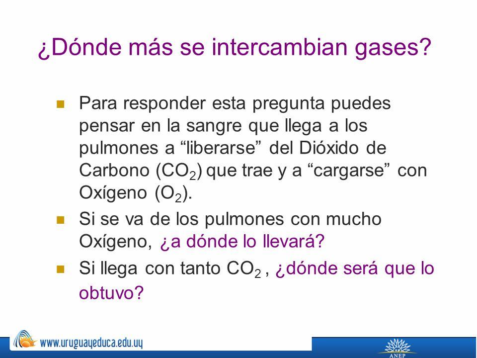 ¿Dónde más se intercambian gases.