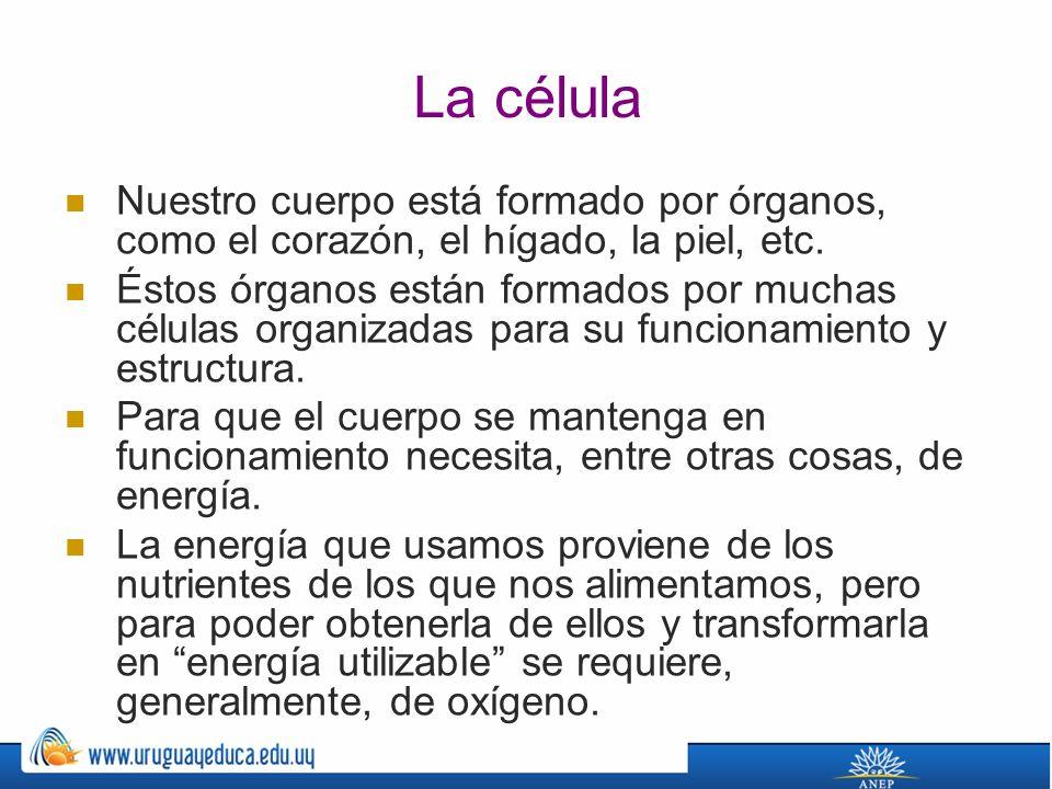La célula Nuestro cuerpo está formado por órganos, como el corazón, el hígado, la piel, etc.
