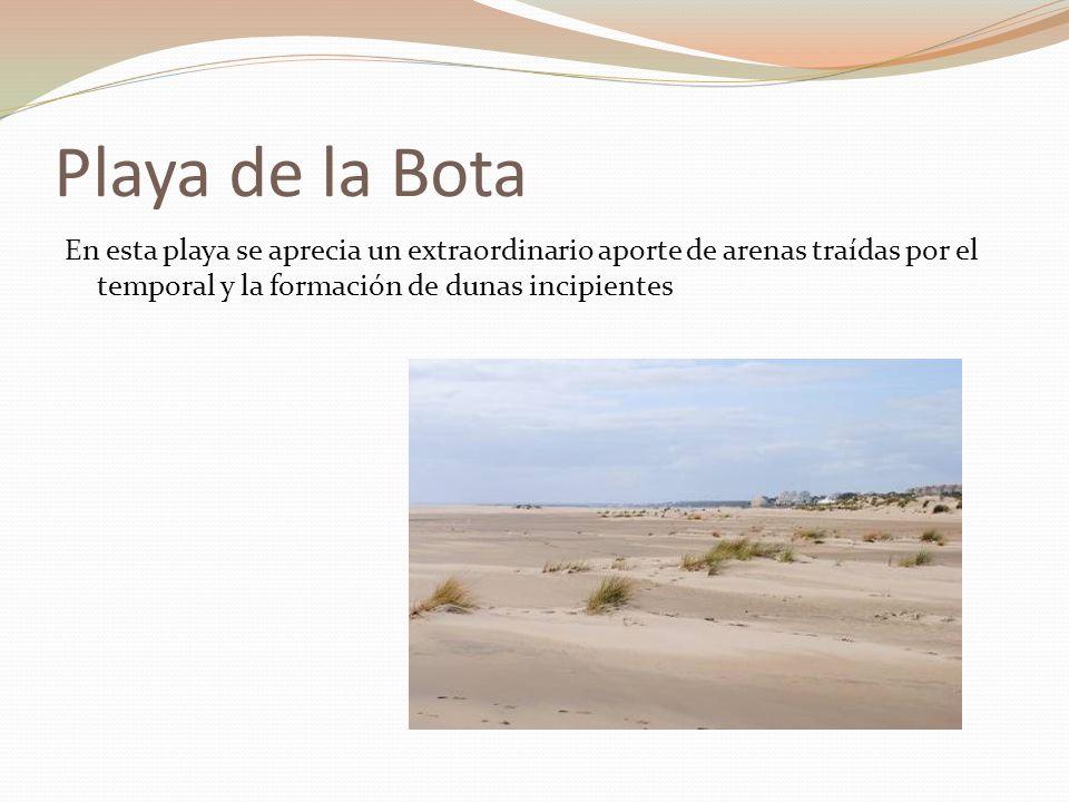 Playa de la Bota En esta playa se aprecia un extraordinario aporte de arenas traídas por el temporal y la formación de dunas incipientes