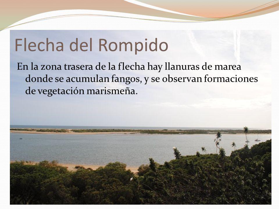 Flecha del Rompido En la zona trasera de la flecha hay llanuras de marea donde se acumulan fangos, y se observan formaciones de vegetación marismeña.