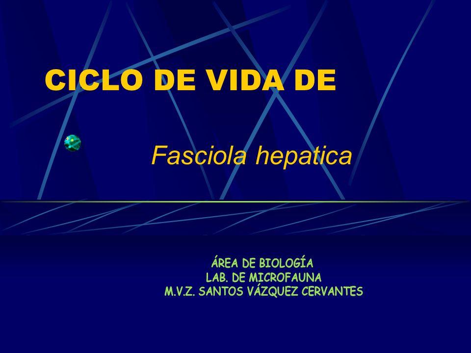 CICLO DE VIDA DE Fasciola hepatica