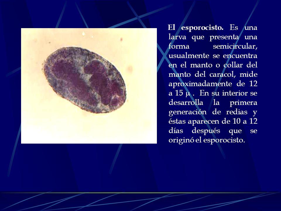 Los caracoles susceptibles son atacados por miracidios, los cuales se fijan en sus partes blandas por acción de la papila apical, al mismo tiempo segr