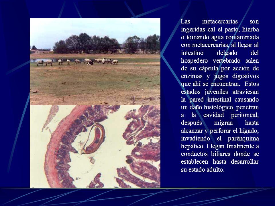 La metacercaria. Es la forma infectante para los animales herbívoros y se forma después que la cercaria pierde su cola, tomando una forma redondeada c
