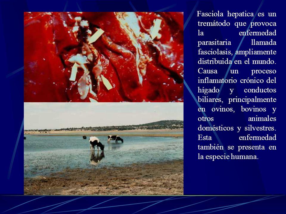 Fasciola hepatica es un tremátodo que provoca la enfermedad parasitaria llamada fasciolasis, ampliamente distribuida en el mundo.