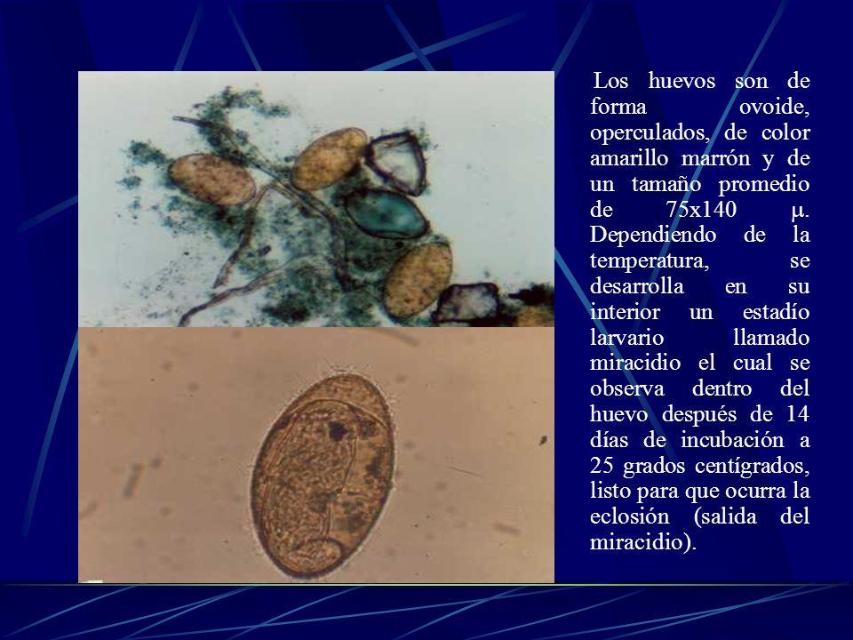 Los huevos son de forma ovoide, operculados, de color amarillo marrón y de un tamaño promedio de 75x140.