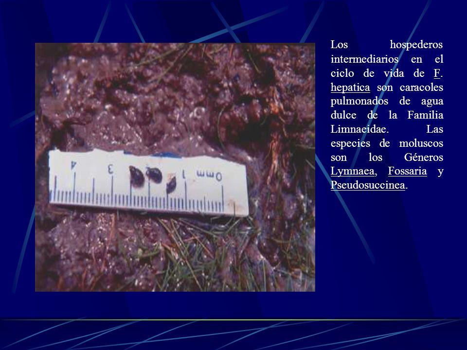 El miracidio. Es una larva ciliada de forma ovalada que mide 25 x 128, más ancha en su región anterior donde se presenta una papila, se aprecia un par