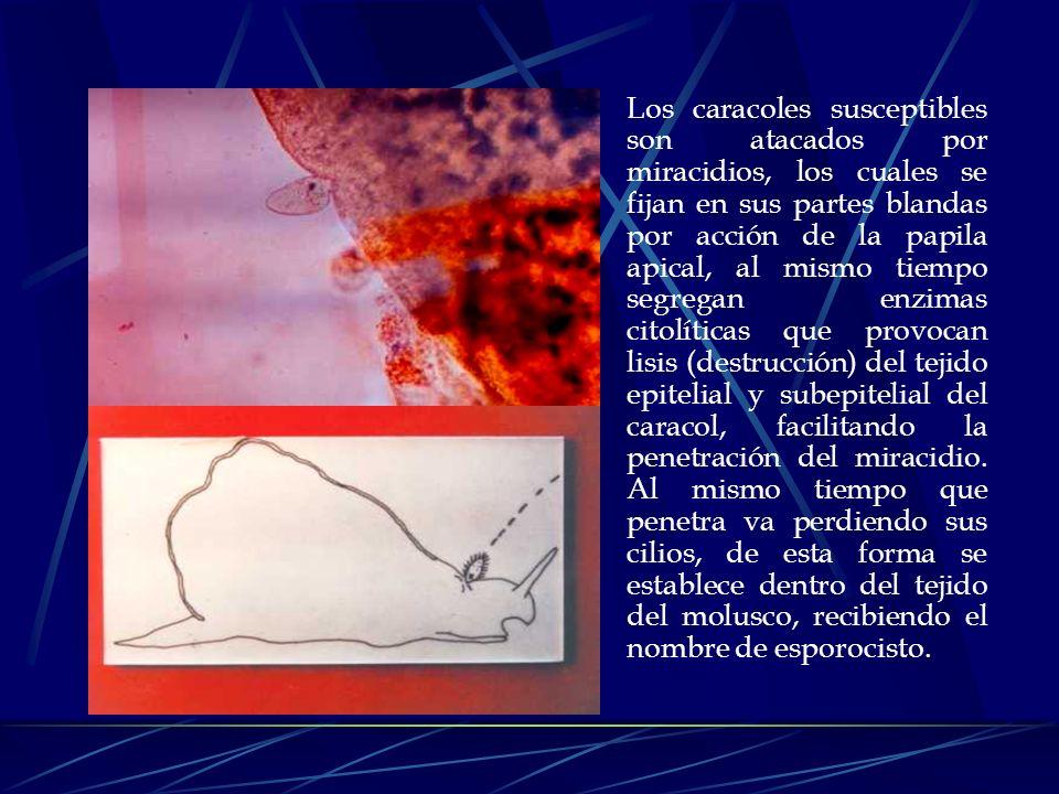 Los hospederos intermediarios en el ciclo de vida de F. hepatica son caracoles pulmonados de agua dulce de la Familia Limnaeidae. Las especies de molu