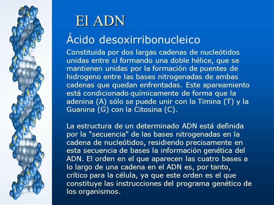 El ADN Ácido desoxirribonucleico Constituida por dos largas cadenas de nucleótidos unidas entre sí formando una doble hélice, que se mantienen unidas