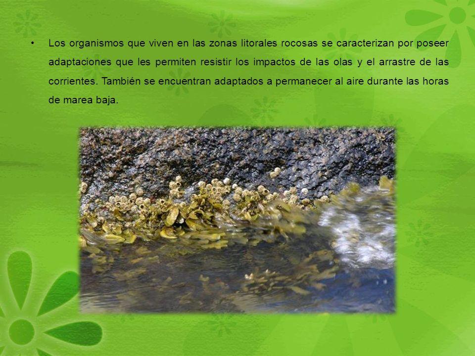 Los organismos que viven en las zonas litorales rocosas se caracterizan por poseer adaptaciones que les permiten resistir los impactos de las olas y el arrastre de las corrientes.
