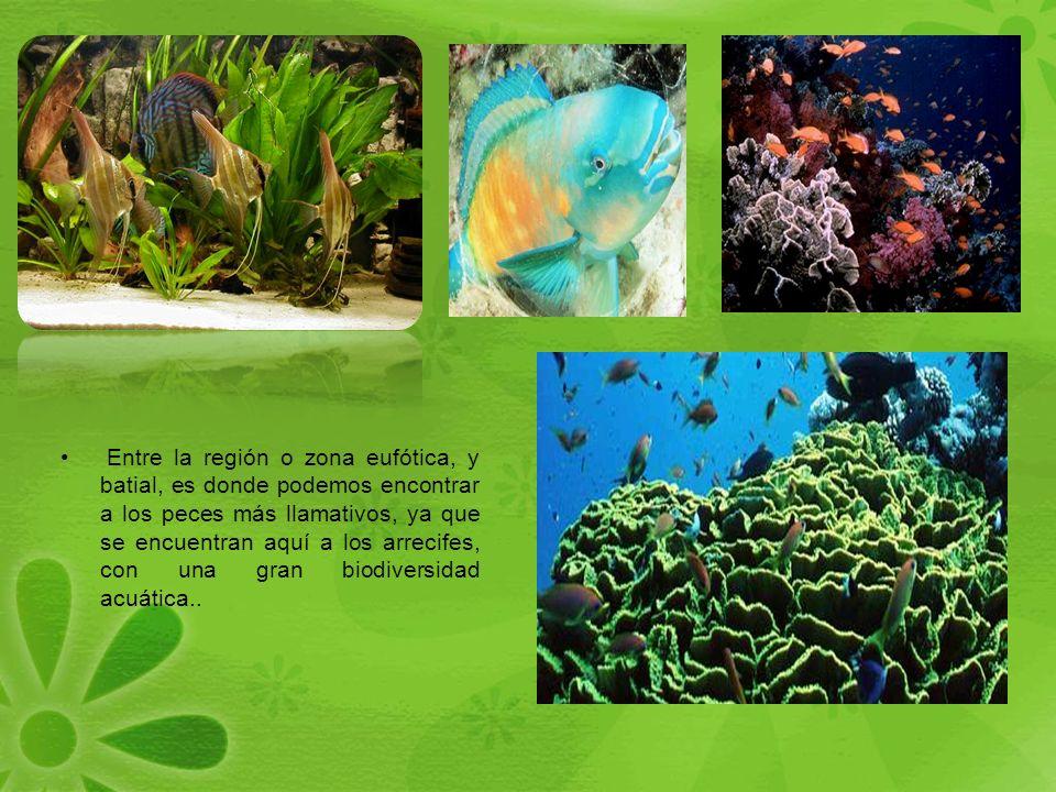 Entre la región o zona eufótica, y batial, es donde podemos encontrar a los peces más llamativos, ya que se encuentran aquí a los arrecifes, con una gran biodiversidad acuática..