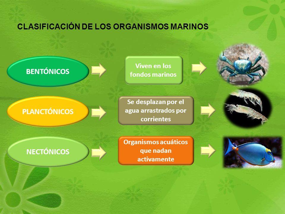 CLASIFICACIÓN DE LOS ORGANISMOS MARINOS PLANCTÓNICOS BENTÓNICOS NECTÓNICOS Viven en los fondos marinos Se desplazan por el agua arrastrados por corrientes Organismos acuáticos que nadan activamente