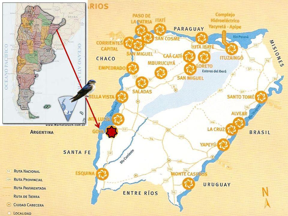 El 24 de noviembre de cada año, llegan a la ciudad de Goya- Provincia de Corrientes- República Argentina, las golondrinas de San Juan de Capistrano. L