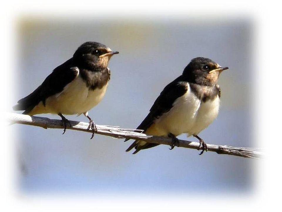 La Plaza San Martín, es el lugar preferido por estas aves para anidar, aunque también lo hacen en el Campanario de la Iglesia Catedral, en Plaza Itali