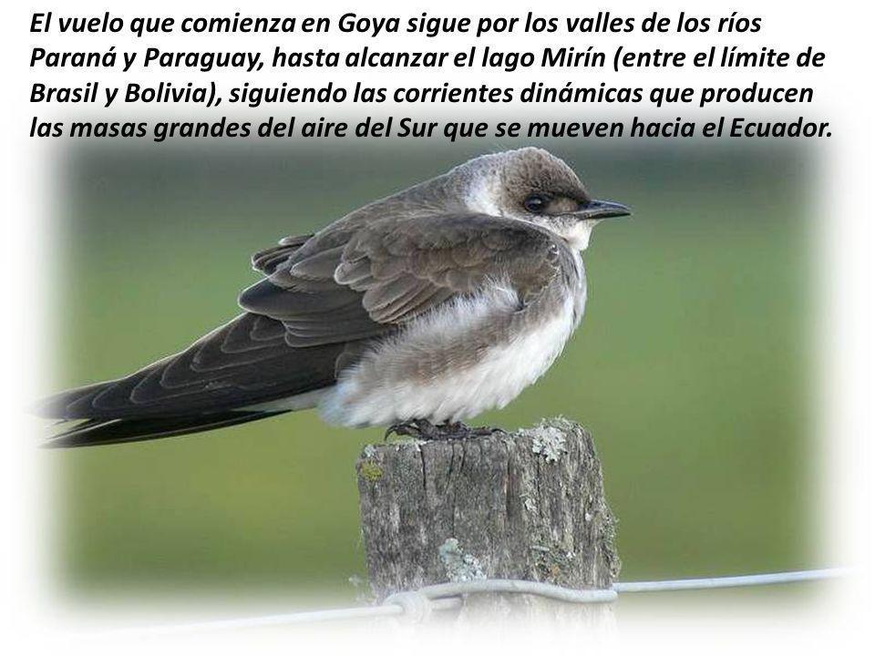 Las golondrinas dejan Goya en el décimo octavo día de febrero, en el amanecer, en bandadas sucesivas, y llegan todas juntas a San Juan de Capistrano,
