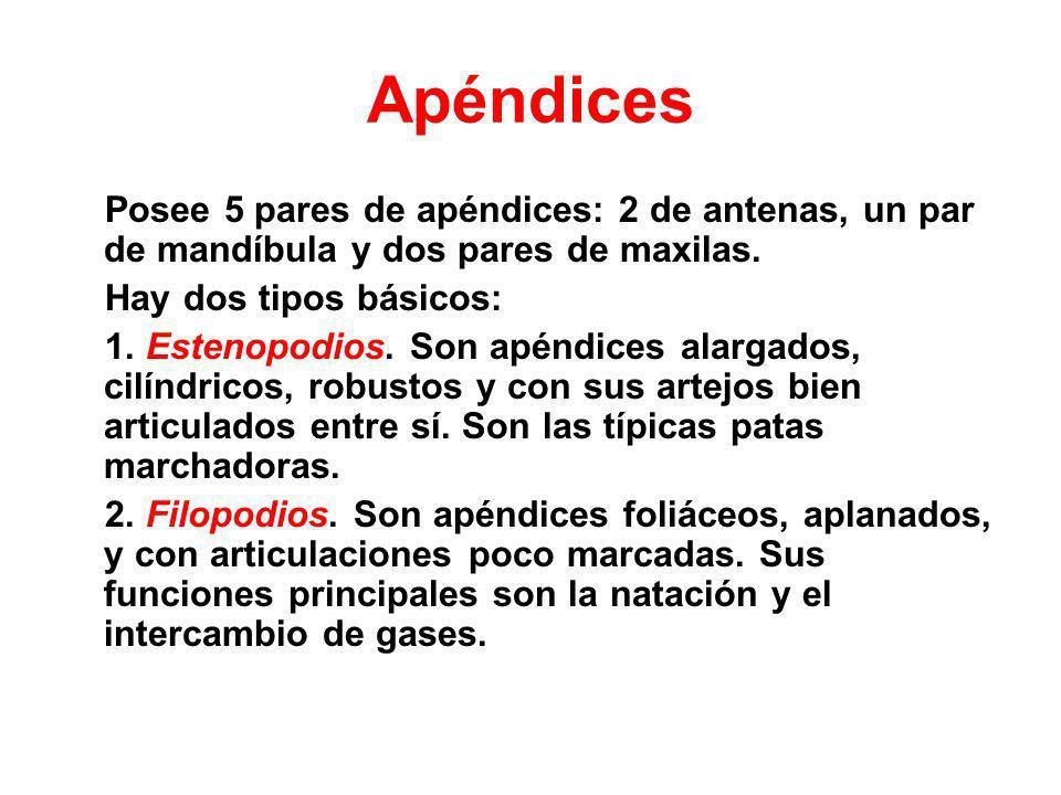 Apéndices Posee 5 pares de apéndices: 2 de antenas, un par de mandíbula y dos pares de maxilas. Hay dos tipos básicos: 1. Estenopodios. Son apéndices