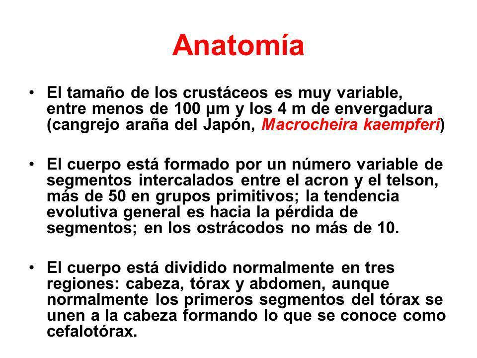 Anatomía El tamaño de los crustáceos es muy variable, entre menos de 100 μm y los 4 m de envergadura (cangrejo araña del Japón, Macrocheira kaempferi)