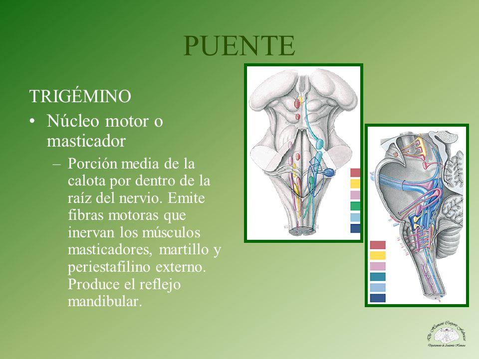 PUENTE TRIGÉMINO Núcleo motor o masticador –Porción media de la calota por dentro de la raíz del nervio. Emite fibras motoras que inervan los músculos