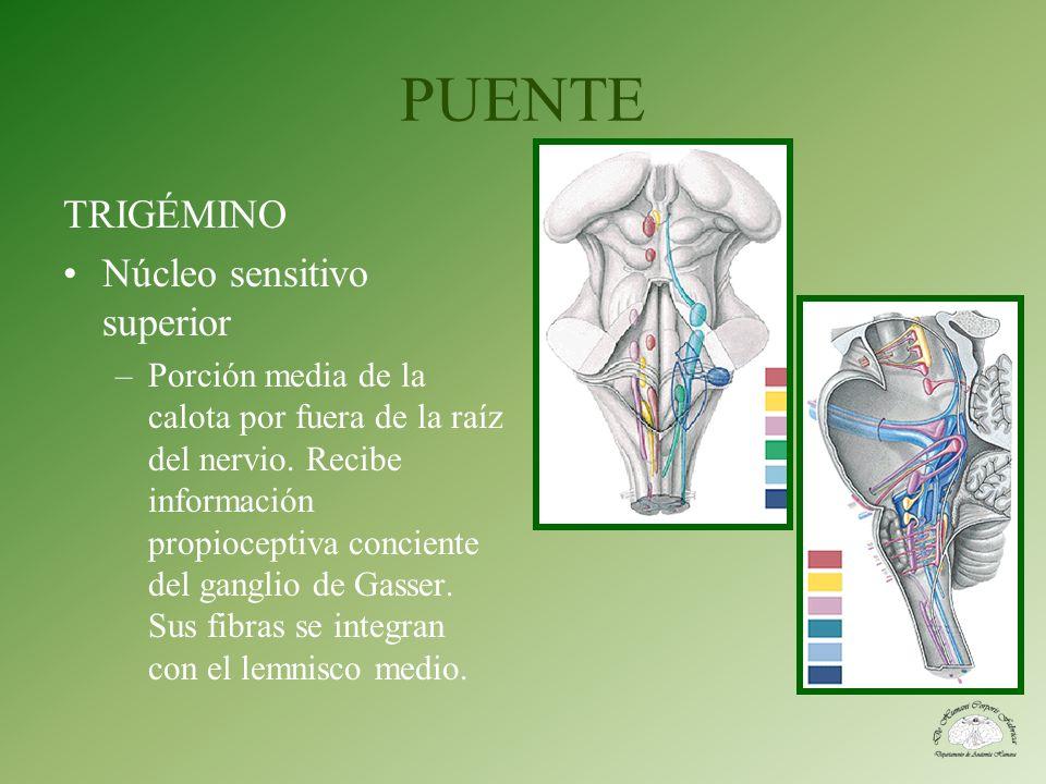 PUENTE TRIGÉMINO Núcleo sensitivo superior –Porción media de la calota por fuera de la raíz del nervio. Recibe información propioceptiva conciente del