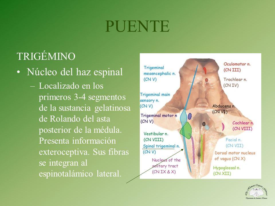 PUENTE TRIGÉMINO Núcleo del haz espinal –Localizado en los primeros 3-4 segmentos de la sustancia gelatinosa de Rolando del asta posterior de la médul