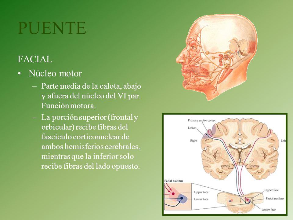 PUENTE FACIAL Núcleo motor –Parte media de la calota, abajo y afuera del núcleo del VI par. Función motora. –La porción superior (frontal y orbicular)