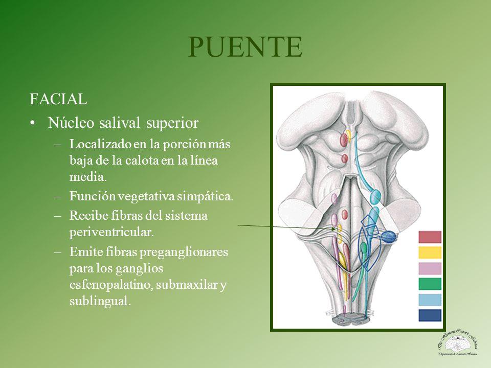 PUENTE FACIAL Núcleo salival superior –Localizado en la porción más baja de la calota en la línea media. –Función vegetativa simpática. –Recibe fibras