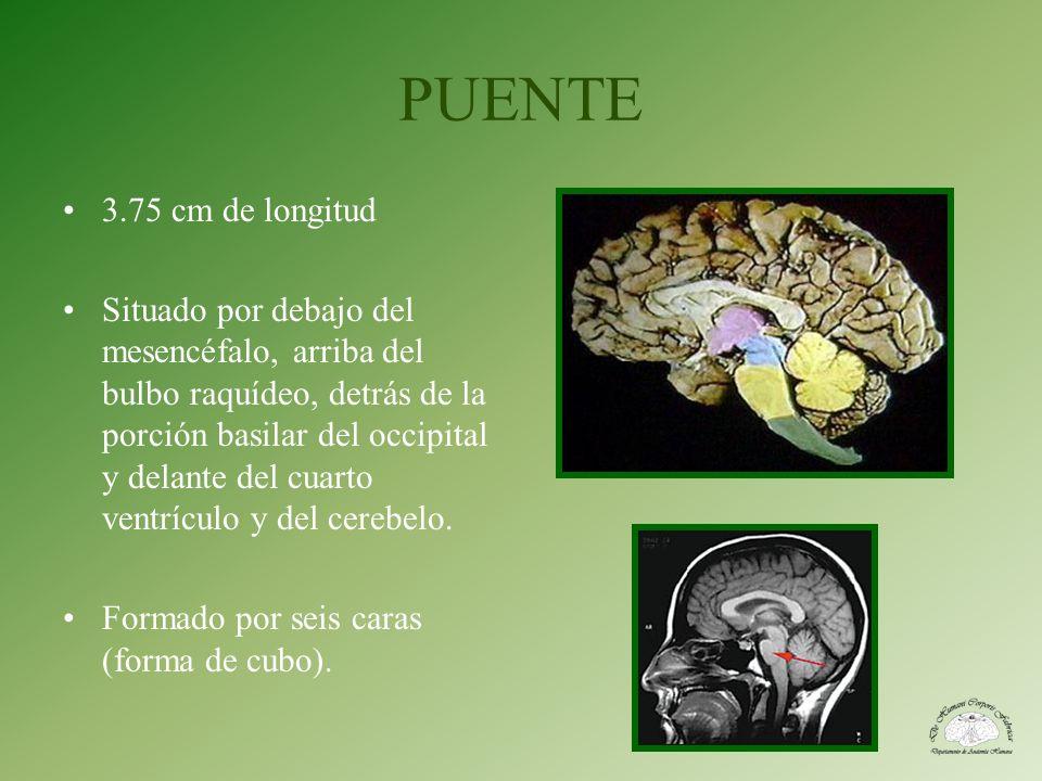 3.75 cm de longitud Situado por debajo del mesencéfalo, arriba del bulbo raquídeo, detrás de la porción basilar del occipital y delante del cuarto ven