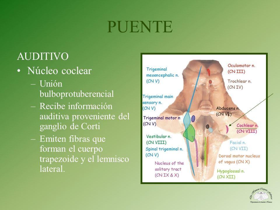 PUENTE AUDITIVO Núcleo coclear –Unión bulboprotuberencial –Recibe información auditiva proveniente del ganglio de Corti –Emiten fibras que forman el c
