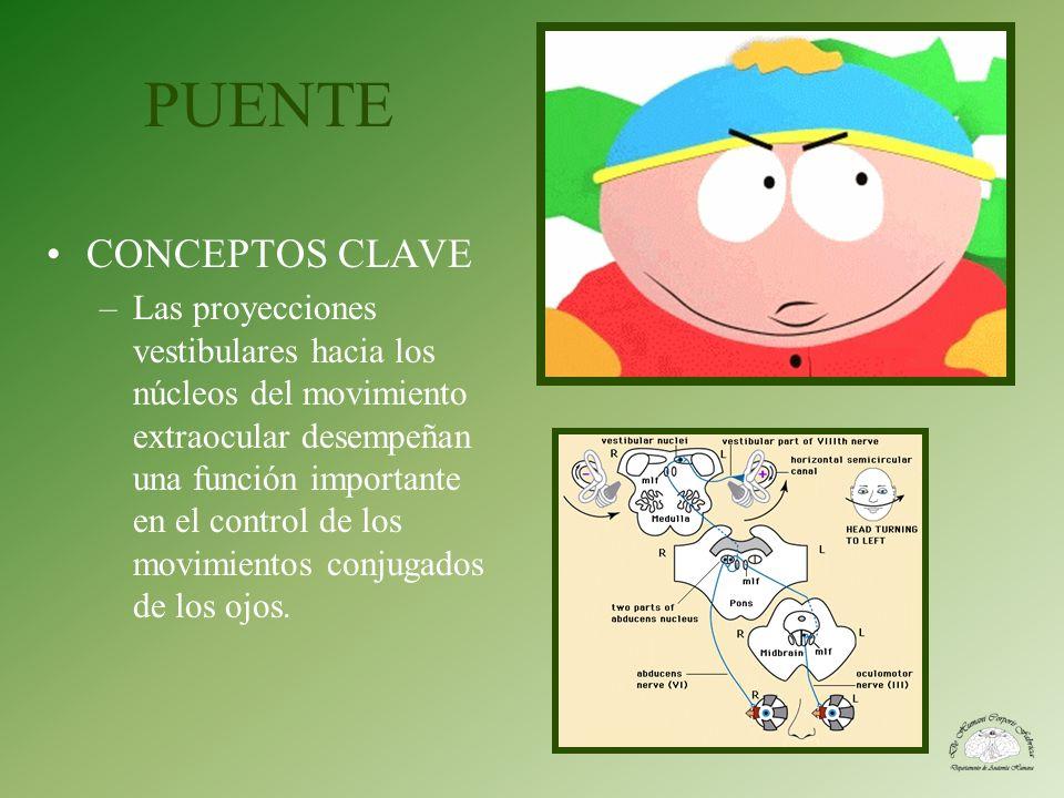 PUENTE CONCEPTOS CLAVE –Las proyecciones vestibulares hacia los núcleos del movimiento extraocular desempeñan una función importante en el control de