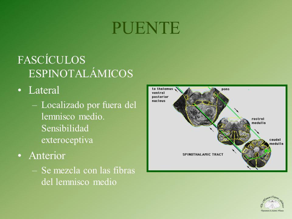 PUENTE FASCÍCULOS ESPINOTALÁMICOS Lateral –Localizado por fuera del lemnisco medio. Sensibilidad exteroceptiva Anterior –Se mezcla con las fibras del