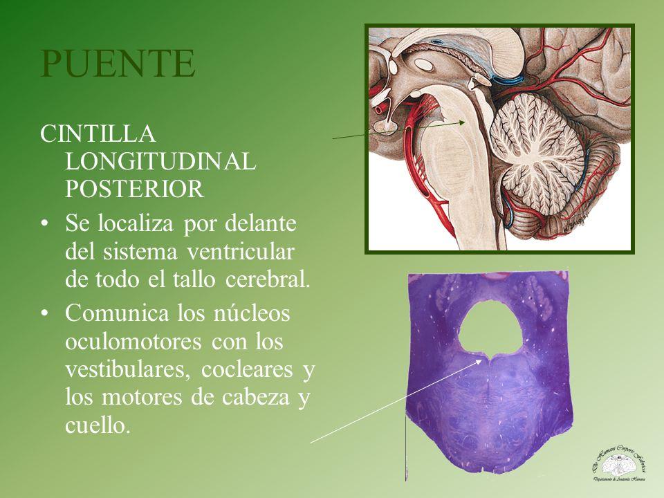 PUENTE CINTILLA LONGITUDINAL POSTERIOR Se localiza por delante del sistema ventricular de todo el tallo cerebral. Comunica los núcleos oculomotores co