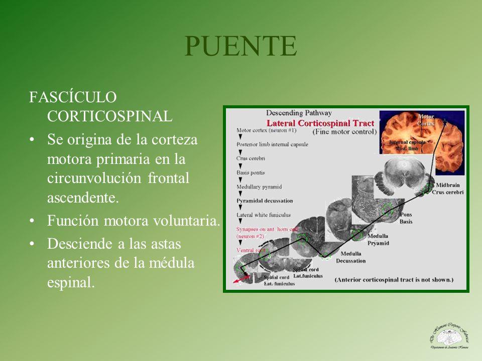 PUENTE FASCÍCULO CORTICOSPINAL Se origina de la corteza motora primaria en la circunvolución frontal ascendente. Función motora voluntaria. Desciende