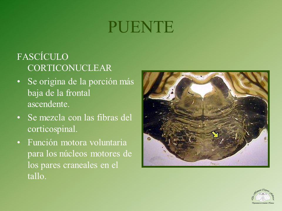 PUENTE FASCÍCULO CORTICONUCLEAR Se origina de la porción más baja de la frontal ascendente. Se mezcla con las fibras del corticospinal. Función motora