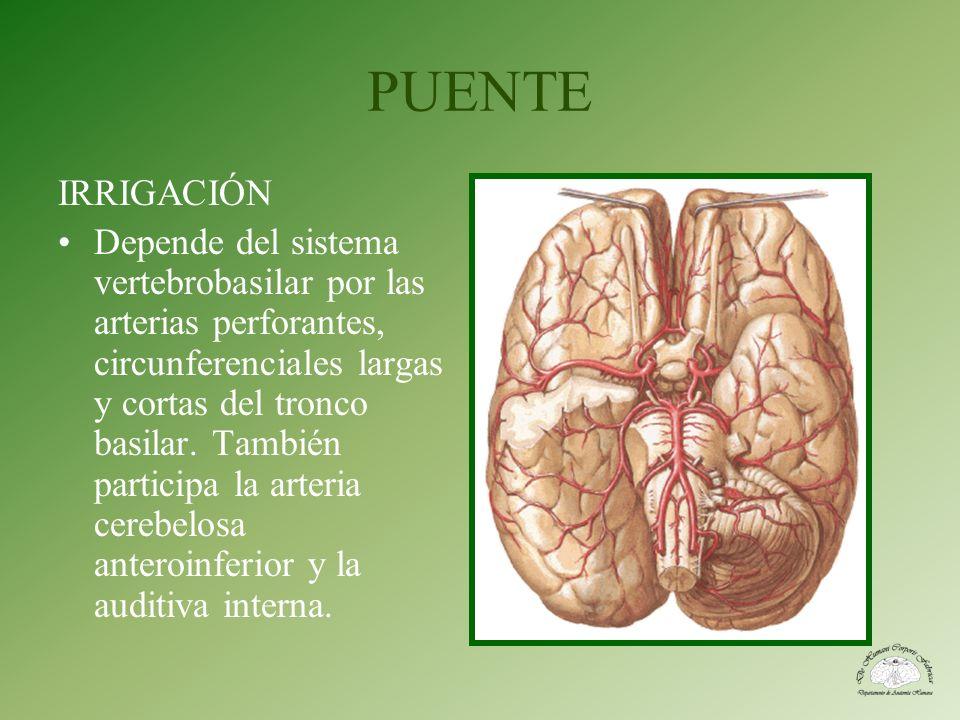 PUENTE IRRIGACIÓN Depende del sistema vertebrobasilar por las arterias perforantes, circunferenciales largas y cortas del tronco basilar. También part