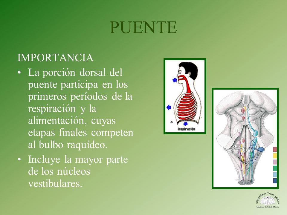 PUENTE IMPORTANCIA La porción dorsal del puente participa en los primeros períodos de la respiración y la alimentación, cuyas etapas finales competen