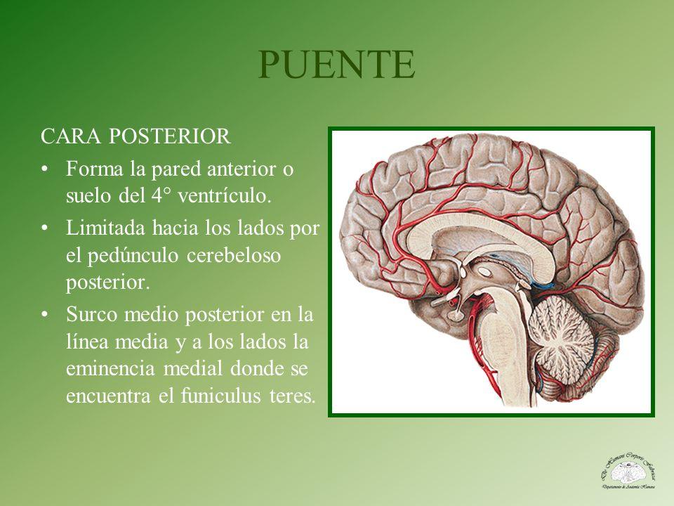 PUENTE CARA POSTERIOR Forma la pared anterior o suelo del 4° ventrículo. Limitada hacia los lados por el pedúnculo cerebeloso posterior. Surco medio p
