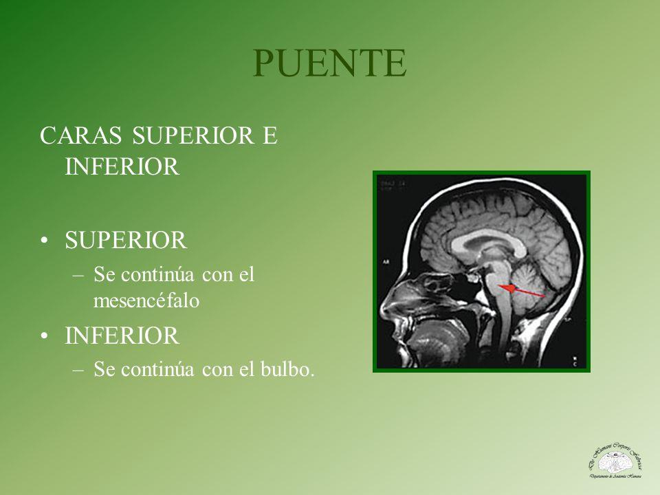 PUENTE CARAS SUPERIOR E INFERIOR SUPERIOR –Se continúa con el mesencéfalo INFERIOR –Se continúa con el bulbo.