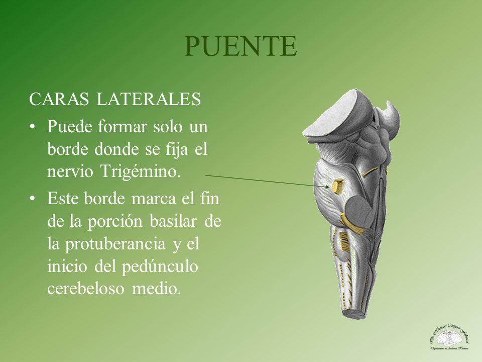 PUENTE CARAS LATERALES Puede formar solo un borde donde se fija el nervio Trigémino. Este borde marca el fin de la porción basilar de la protuberancia